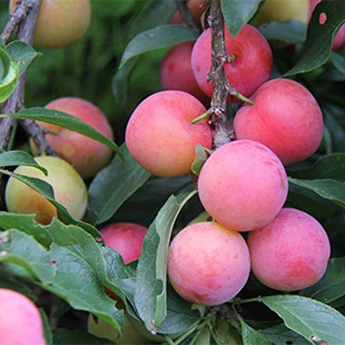 Ncient 10 Semillas de Ciruela Plum Semillas de Frutas Raras Arboles Plantas Flores Bonsai Semillas Fragantes para Jardín Balcon Interior y Exteriores