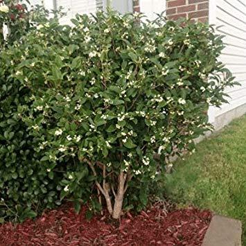 Fash Lady Duftender Tee Olivenbaum 15 Samen (Osmanthus Frangrans) Duftende Blüten