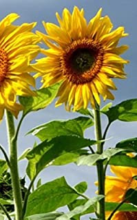 """SUNFLOWER GIANT HEIRLOOM (Helianthus annus) """"MAMMOTH GREY STRIPE"""" THE QUINTESSENTIAL GIANT WITH MEATY SEEDS APPROX 50 SEEDS"""