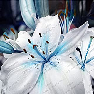 Hot Sale! A Package 50 pieces Lily Seeds Rare Lilium Brownii Bonsai Potted Garden plant Flower Seeds Blue Heart lily Seeds