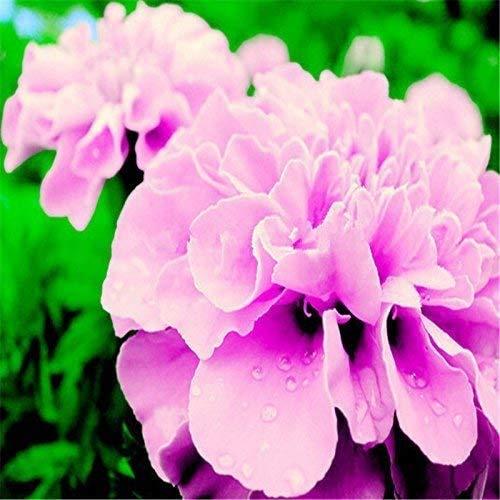 Nice Days(ナイス ディズ)30個 種 ローズピンク フレンチマリーゴールド シード