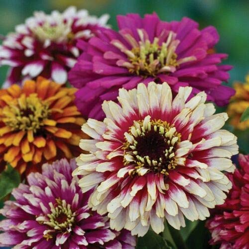 ZINNIA (Zinnia Elegans Whirlygig Improved mixed) 75 seeds