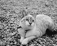 猫かわいい嘘Diyデジタル絵画数字で現代壁アートキャンバスペイントホリデーギフト家の装飾ビッグサイズ油絵の具カラー原稿 カスタマイズ可能 40x50cm DIYフレーム