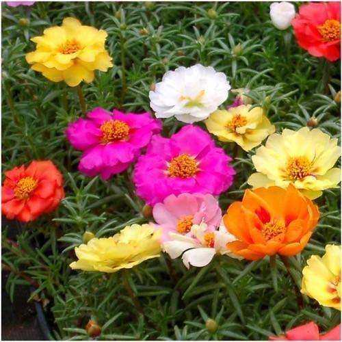 Paquet de 1000 graines, Portulaca, mélange double (Rose Moss)