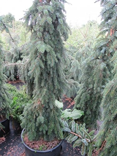 Picea omorika Pendula - Serbische Hängefichte