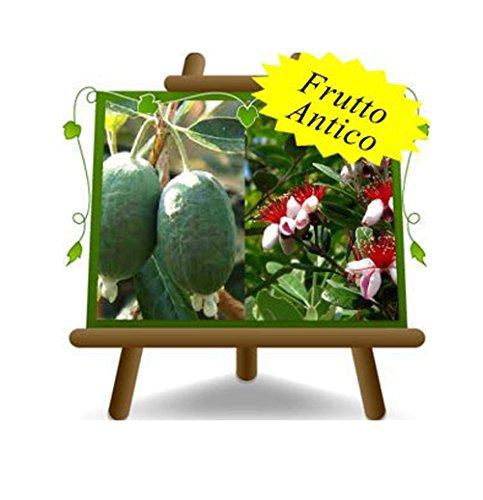 Feijoa Mammouth – pianta da frutto antico - Albero su vaso da 26 - max 90 cm - 4 anni