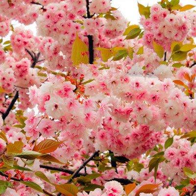 Sakura Graines Bonsai Fleur de cerisier Cerisier plantes ornementales 10 particules / lot