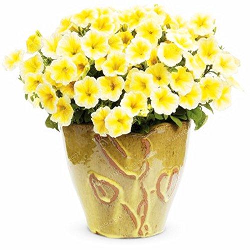Escalade Pétunia Graines de fleurs Jardin Bonsai Balcon Petunia hybrida semences de fleurs de 20 espèces Bonsai plante facile à cultiver 100 Pcs 6