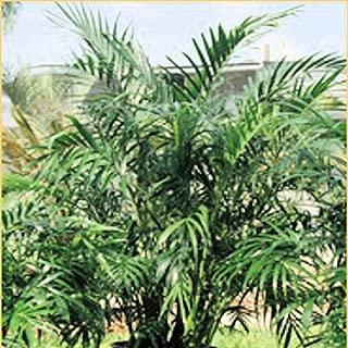 The Dirty Gardener Chamaedorea Elegans Parlor Palm - 500 Seeds