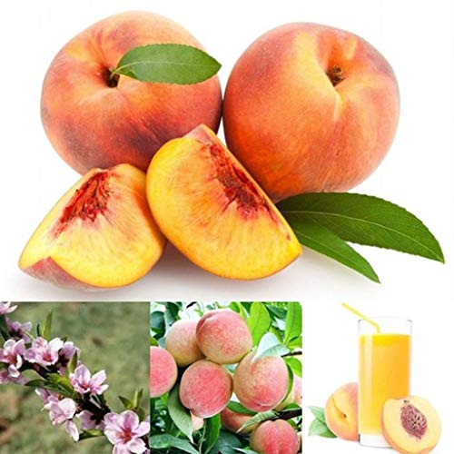 XKSIKjian's Garden, 10Pcs Organic Peach Seed Juicy Delicious Fruit Tree Bonsai Ornamental Plant Home Decor Non-GMO Open Pollinated Seeds for Planting - Peach Seeds