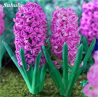 Livraison gratuite Parfum Pas Cher Graines jacinthe, plantes en pot purifient l'air, PC de bureau Décor-100 Pcs Hyacinthus Orientalis Seed 10