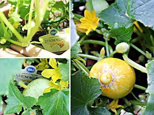 Yukio Samenhaus - Rarität Gurke/Zitronengurke Lemon leicht säuerlich, exotische Gurke zitronengelb Gemüsesamen winterhart mehrjährig