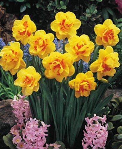 30 Großblumige gefüllte Narzissen Tahiti Blumenzwiebeln Narcissus