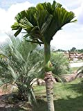 PLAT FIRM KEIM SEEDS: 5 SEED Areca catechu Betelnuss PALM FRESH READY PLANT VIABLE RARE BING LANG RARE