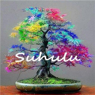 20 semillas de arce azul chino raro bonsái arbol semillas de arce bonsái plantas, árboles para macetas, plantas de arboles 16