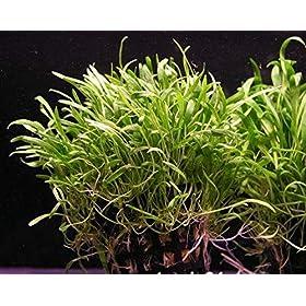 WFW wasserflora Brasilianische Graspflanze Lilaeopsis brasiliensis (Neuseelandgras)