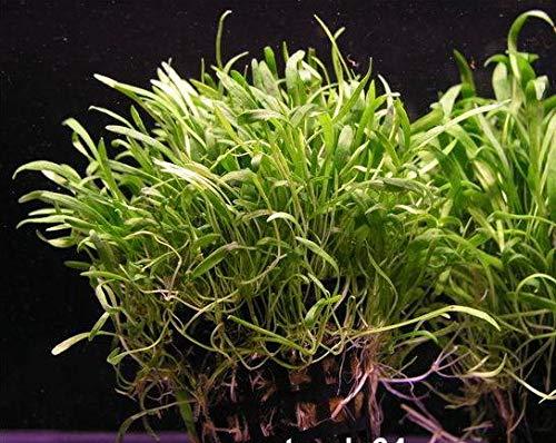 WFW wasserflora Brasilianische Graspflanze/Lilaeopsis brasiliensis (Neuseelandgras)