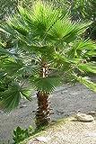 Washingtonia robusta'Palma Messicana' pianta in vaso 12x12 cm h. 50/70 cm