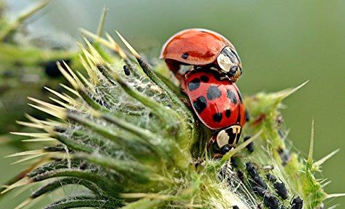 TwinterS - 60 Marienkäfer-Larven zur Bekämpfung von Blattläusen