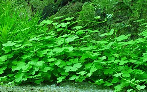 Tropica Aquarium Pflanze Aquariumpflanze Hydrocotyle tripartita Nr.039B Wasserpflanzen Aquarium Aquariumpflanzen