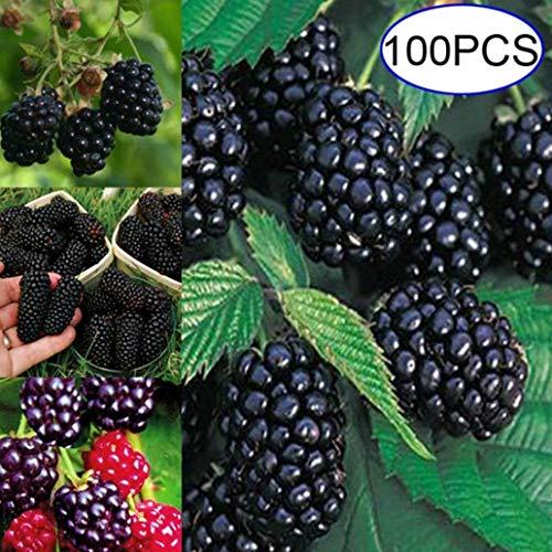 lamta1k 100Pcs Blackberrys Baumsamen Nahrhafte Hausgarten Bonsai Himbeere Obst Pflanze - Blackberry Seeds