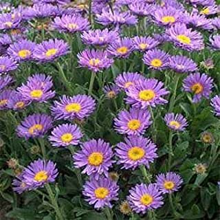 Outsidepride Aster Blue Flower Seed - 2000 Seeds