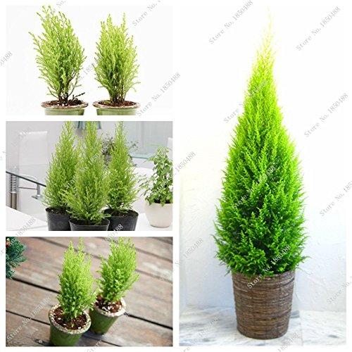 Pin Bonsaï semences, Bureau Bureau Arbre de Noël Décoration Colorado Sapin Cour Jardin Graines Picea Pots de fleurs 60 Pcs
