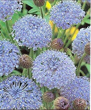 Fash Lady 100蓝色蕾丝花(岛雏菊)腕蛋白烯树干酪植物花卉种子