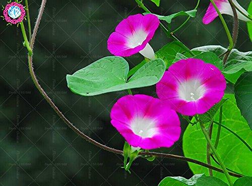 100 pcs/sac à double pétales graines de pétunia graines de fleurs bonsaï fleurs court jardin hauteur des graines de pot de plante d'intérieur ou ourdoor 4
