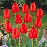 BULBi Bulbes de Tulipes APELDOORN - Rouge | 25x Bulbes | Les Tulipes Darwin sont robustes avec des longues tiges solides et fleurs classiques avec une longue floraison. Plantation: Automne