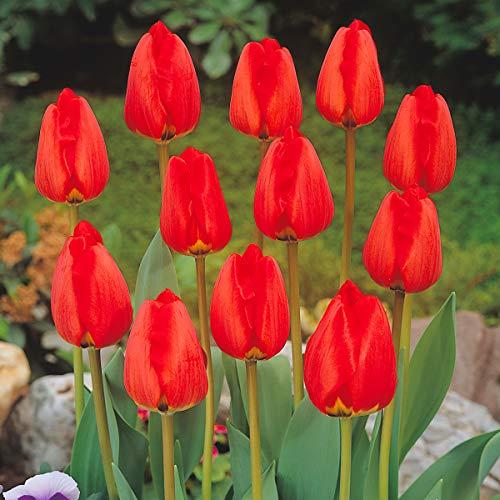 BULBi® Holland - Tulpenzwiebeln APELDOORN - Farbe: Rot | 25x Zwiebeln | Auf Amazon Lager | Darwin-Hybride Tulpen sind starke Tulpen mit langen, robusten Stielen und einer langen Blütezeit.