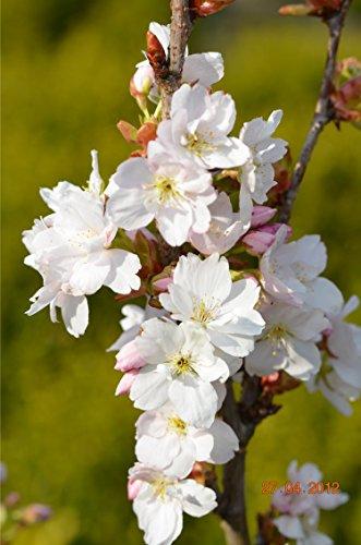 Japanische Säulenzierkirsche Prunus serrulata Amanogawa 80-100 cm hoch im 5 Liter Pflanzcontainer