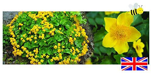 Caltha palustris (King Cup or Marsh Marigold) - bareroot - 9cm - Marginal Pond Plants - Fish or Wildlife Pond and bog Aquatic Plants