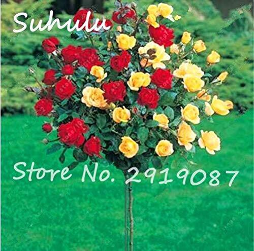 11: 100 Teile/beutel Rosenbaum Samen, Bonsai Zwerg Baum Blumensamen, Chinesische Rosenbaum Pflanze Balkon & Hof Topfpflanzen Leuchten Ihren Garten