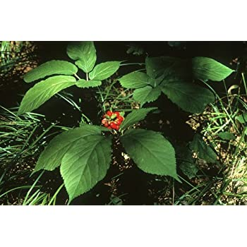 Wild Canadian Ginseng STRATIFIED Seeds for 2019-2020 and Ready to Sow Ships from Canada! Seeds Extra Rare!