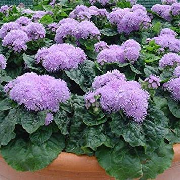 BloomGreen Co. Graines de fleurs: Chatte pied Seed Packets jardinage Jardinerie [jardin Graines Eco Pack] Graines de plantes