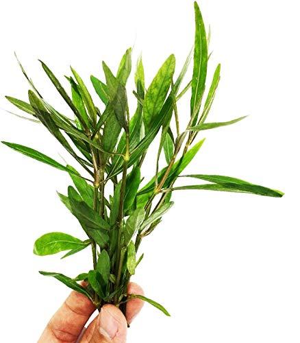Planterest – Hygrophila Corymbosa Bunch...