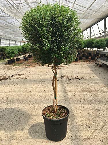 Myrtus Stämmchen 70-80 cm - Myrtus communis - Brautmyrte