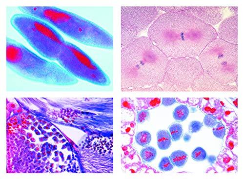 Mikropräparat Serie - Mitose und Meiose Serie 2