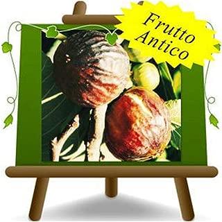 4 ans plante de fruits sur pot de 26 jeune arbre arbousier Arbutus Unedo cerise marine arbre max 160 cm