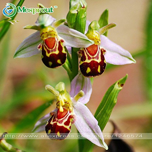 100 graines Chine Rare fleur Abeille Fleur d'Orchidée Graine Visage Sourire Intéressant semences Fleurs