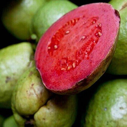 10 Semillas / pack DIY de Plantas de jardín frescas semillas de guayaba Psidium guajava tailandesa Rosa grandes los pomos de envío gratuito: Amazon.es: Jardín