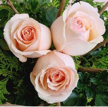 Pots de fleurs jardinières, 20 sortes de 100 graines, Rainbow Rose graines belle rose graines bonsaïs graines pour la maison et le jardin 16