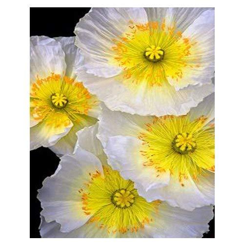 Pinkdose 200PCS mezcla clásica de pétalos de flores amarillas y blancas de amapola Semillas de bonsai en macetas patio con jardín