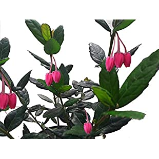 Crinodendron Hookerianum/Chile lantern tree 25-35cm Tall In a 2L Pot 3fatpigs:Poncha2016