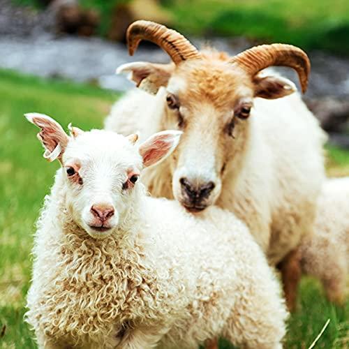 熟成アイスランドラム スライス 1kg (ジンギスカン用/肩肉/冷凍品) アイスランドラム肉 羊肉 ラム肉 北海道 お取り寄せ