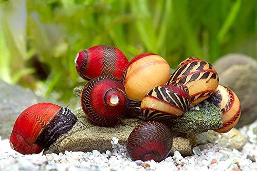 Rote Rennschnecke - 3er Gruppe + 10g Schneckenfeed - biologische Algenpolizei für das Aquarium