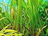 3 Bunch Vallisneria spiralis 'Tiger' - Plantas para acuarios