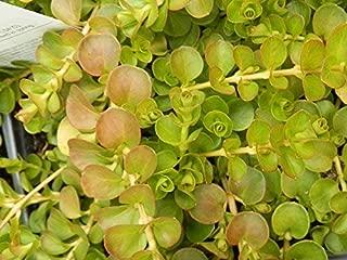 Best creeping jenny pond plants Reviews