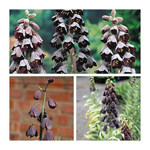 Humphreys Garden Fritillaria Persica (Black) x 10 Bulbs Blumenzwiebeln Size 18 up